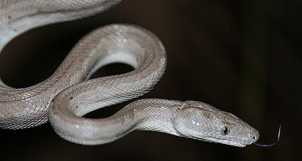 New silvery snake species slithers onto sleeping scientist
