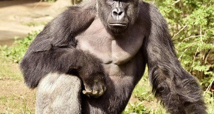 How Harambe the gorilla's death challenges morality at zoos (+video)