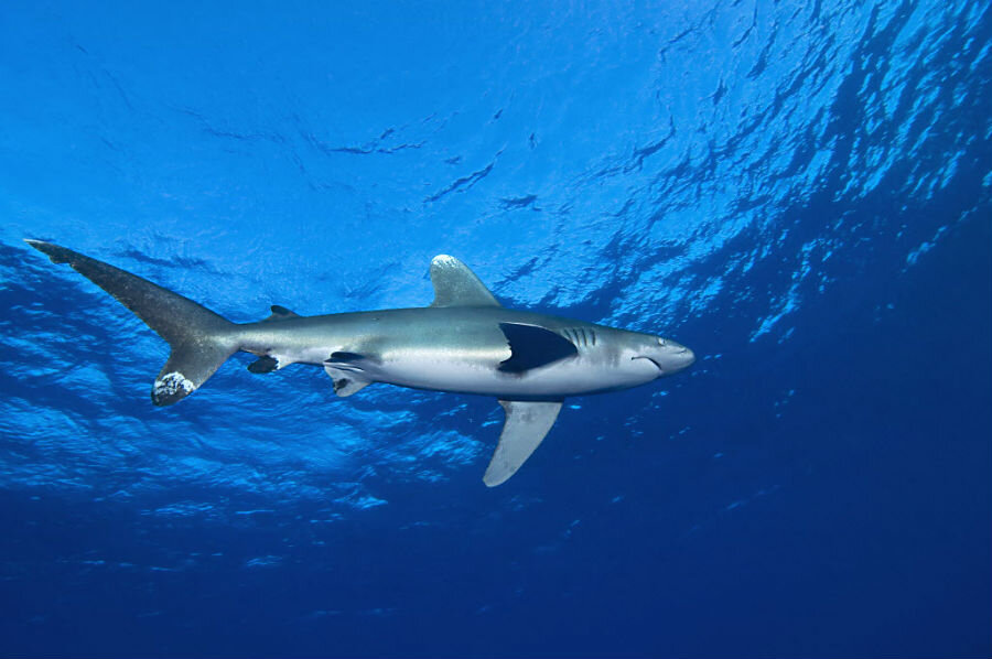 All sharks are not alike: A new study shows unique personality differences