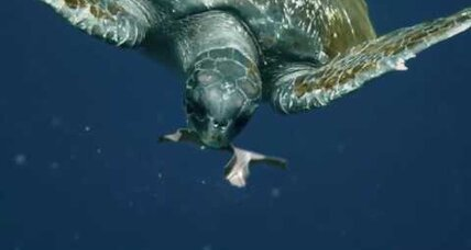 Could biodegradable six-pack rings save the sea turtles?