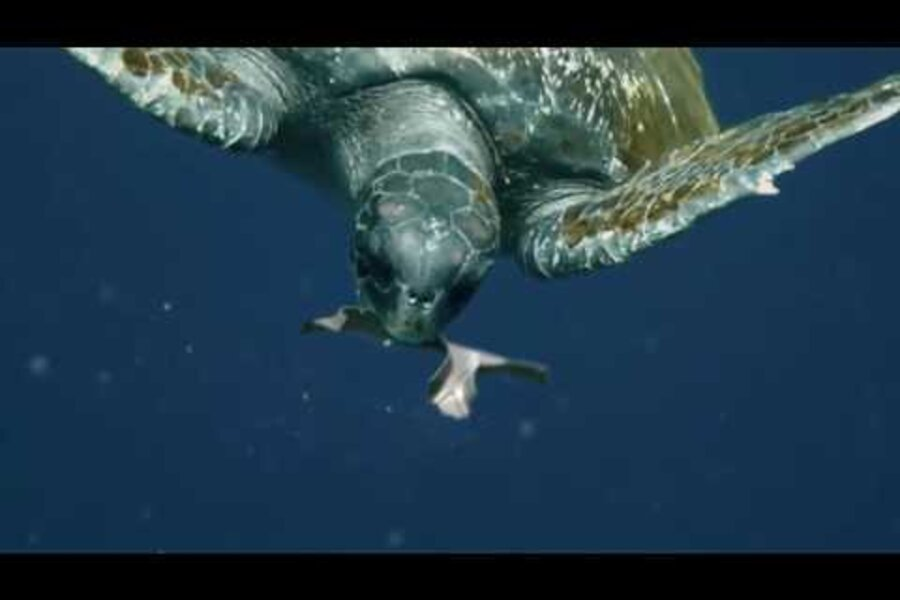 Could Biodegradable Sixpack Rings Save The Sea Turtles - These six pack rings feed sea creatures rather than harm them