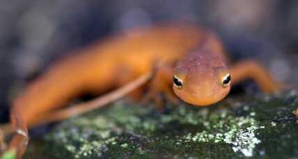Why US biologists feel urgency to protect the gentle newt