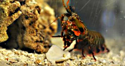 Tiny shrimp's powerful punch inspires a new kind of human helmet