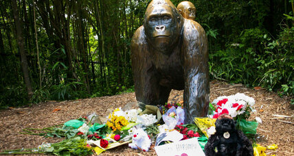 The Cincinnati Zoo reopens gorilla exhibit with better safety features