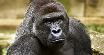 Harambe's death highlights Americans' inner struggle with zoos (+video)