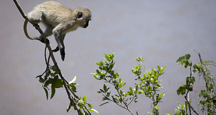 How a monkey caused a nationwide blackout in Kenya