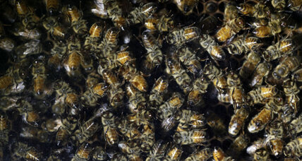 Can 'backyard beekeepers' solve the bee crisis?