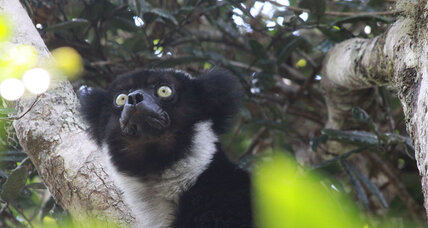 Why aren't these lemurs singing in harmony?