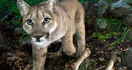 Mountain lion no match for Colorado mom of 5-year-old boy