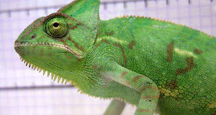 How sticky spit helps chameleons catch big meals