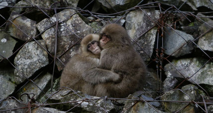 Monkeys' social circles shrink as they age – much like ours