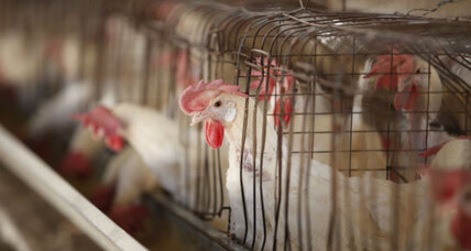 Perdue promises a more humane life for chickens