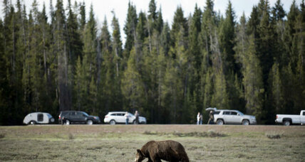 Bear kills bicyclist in Montana: Why are grizzly attacks on the rise?