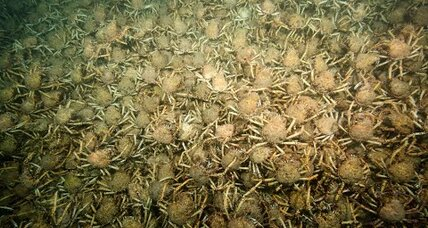 Watch 'gobsmackingly amazing' giant spider crab horde scramble on sea floor