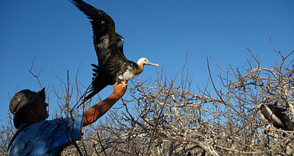 Extreme aviators: How do frigatebirds stay aloft for months at a time?
