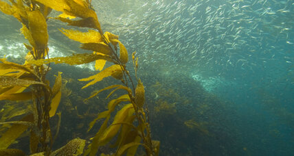Scientists plant kelp as way to offset effects of ocean acidification