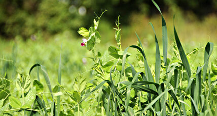 Is this pea plant better at making decisions than you are?