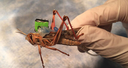 Can locusts sniff out bombs? The US Navy is trying to find out