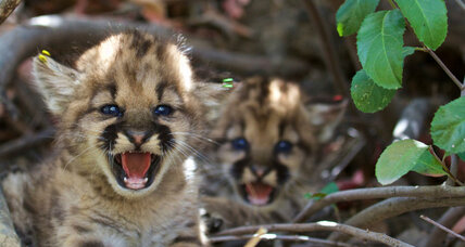 Found near Los Angeles, a quintet of baby mountain lions