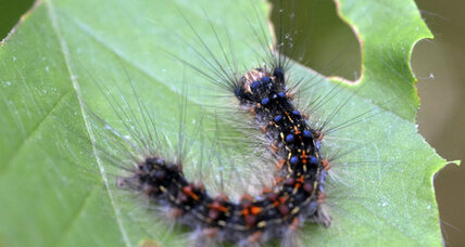 How the Northeast can address its gypsy moth problem