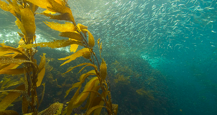 Death of Australia's other great reef a troubling sign for world's kelp forests