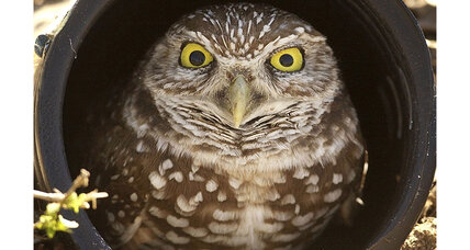 Patrols increased after rare New Mexico burrowing owl shot