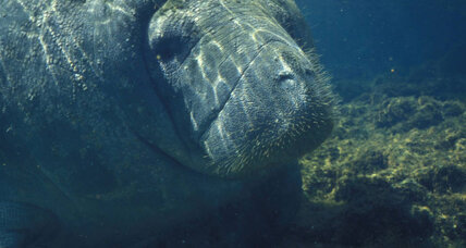 Why are Florida's manatees dying again?