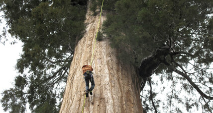How ancient sequoias may hold a key to reversing climate change
