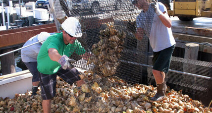 Why scientists are trying to rebuild oyster colonies
