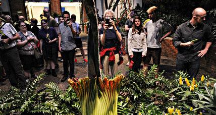 What's that smell? US Botanical Garden's corpse flower poised to bloom