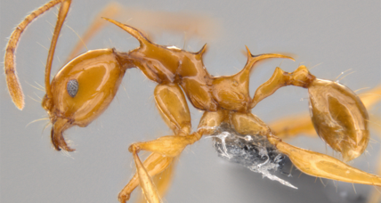 Stranger than fiction: These ants look like the dragons in 'Game of Thrones'