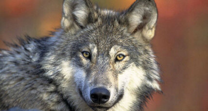 America's lone wolf: Scientists say US has just one true wolf species