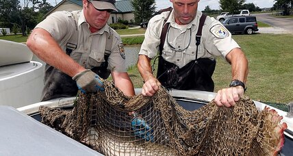 The newest weapon in the Asian carp battle: Alligator fish