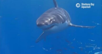 New camera follows sharks to 'White Shark Cafe' for the first time