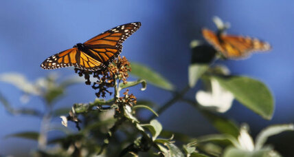 Are monarch butterflies dwindling or rebounding?