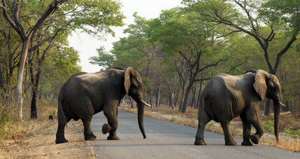 Africa's elephants: why it could take 100 years to recover from poaching