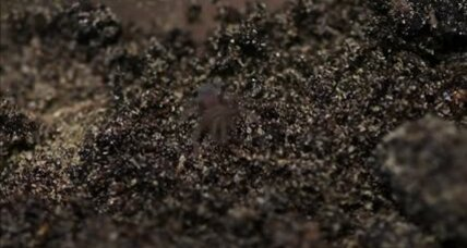 Zookeepers play nursemaid to hundreds of baby Monserrat tarantulas