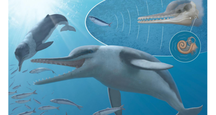 Fossils hold hidden clues to the evolution of whales' incredible hearing