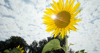 How do sunflowers follow the sun's path? A circadian clock revealed