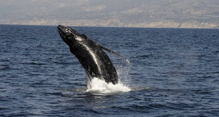 Humpback whales: Are they altruistic mammals?
