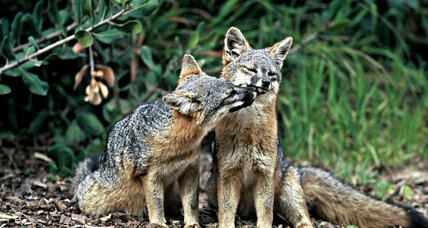 Endangered no more: California's island foxes make a surprising rebound