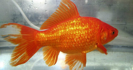 Pet goldfish, discarded, become giant problem for Australia