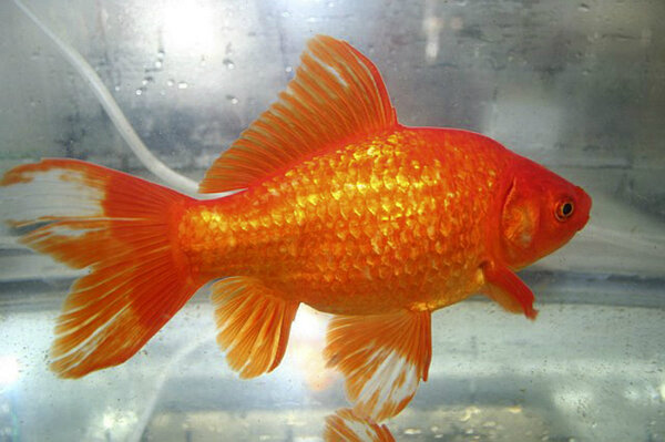 Pet goldfish discarded become giant problem for for Big gold fish