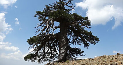 A Bosnian pine named 'Adonis' may be Europe's oldest-living tree