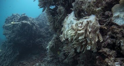 How did a 'zombie' coral reef come back to life?