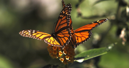 How we all can help monarch butterflies as they migrate