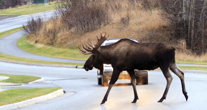 Who owns roadkill? Alaska highway robbery deprives needy