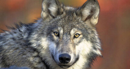 Can Washington state's wolves and ranchers find a way to coexist?