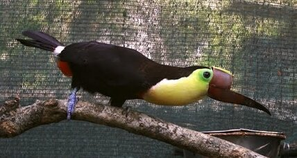 How an injured, bionic toucan joined the fight against animal cruelty