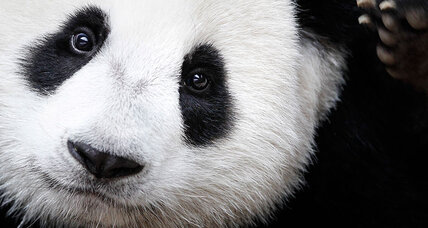 Are giant pandas really ready to come off endangered species list?